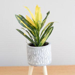 Crodon Plant